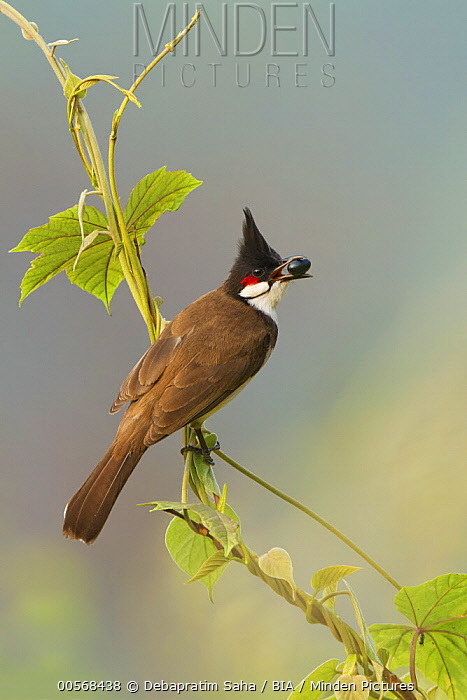 Red-whiskered Bulbul (Pycnonotus jocosus) feeding on seed, West Bengal, India