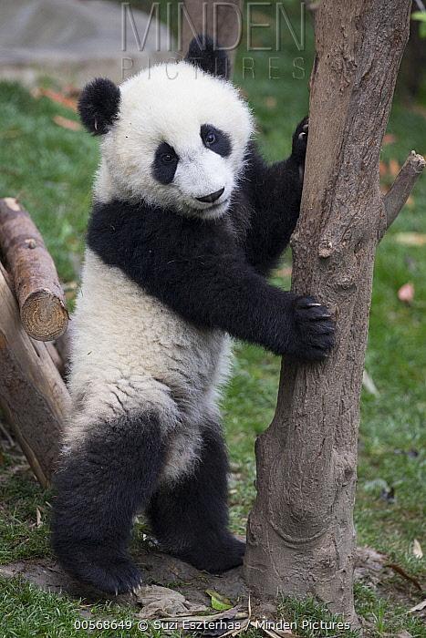 Giant Panda (Ailuropoda melanoleuca) six-to-eight month old cub, Chengdu, China