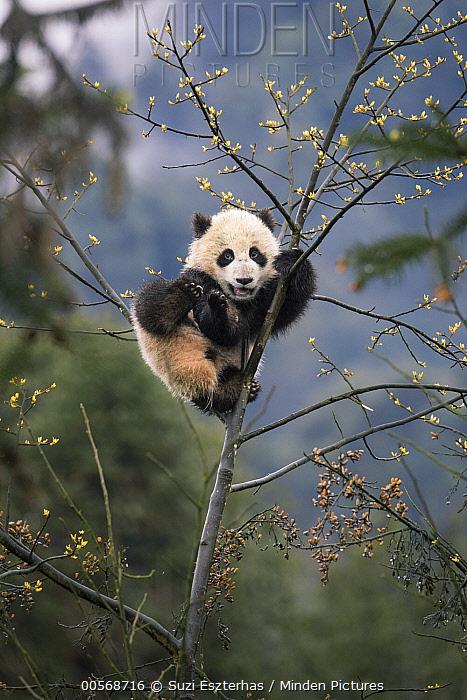 Giant Panda (Ailuropoda melanoleuca) six-to-eight month old cub in tree, Bifengxia Panda Base, Sichuan, China