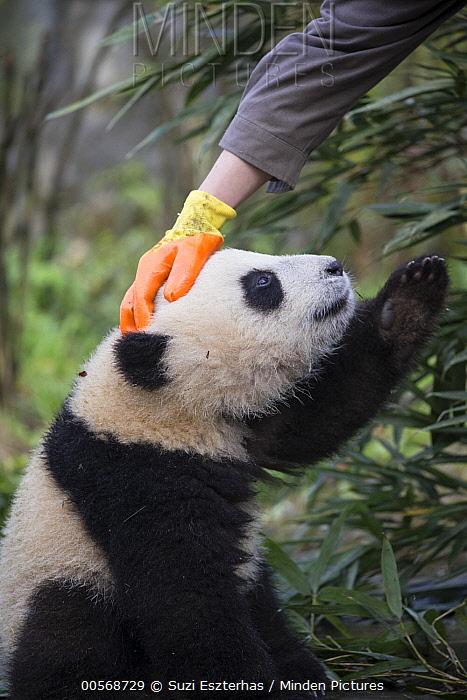 Giant Panda (Ailuropoda melanoleuca) keeper petting six-to-eight month old cub, Bifengxia Panda Base, Sichuan, China