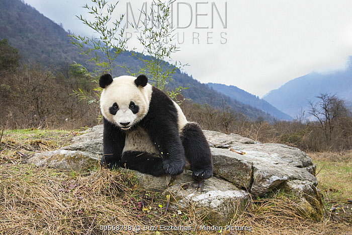 Giant Panda (Ailuropoda melanoleuca), Shenshuping Panda Base, Wolong Nature Reserve, Sichuan, China