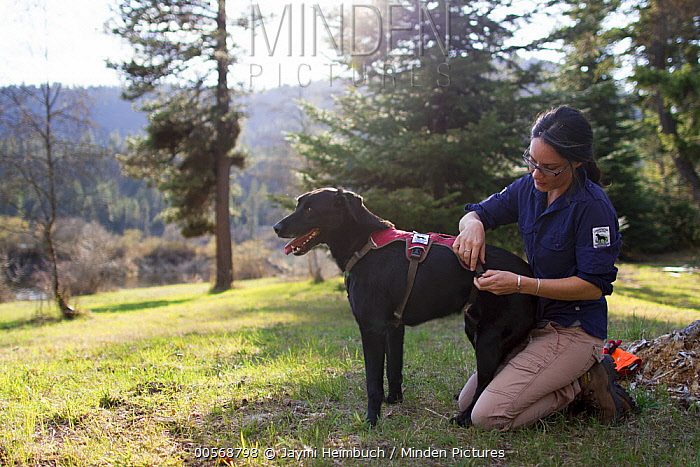 Domestic Dog (Canis familiaris) named Scooby, a scent detection dog with Conservation Canines, is harnessed by field technician Jennifer Hartman, northeast Washington