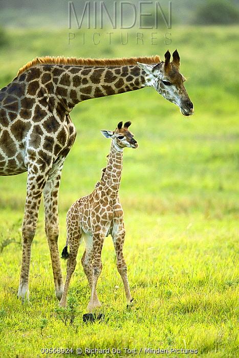Northern Giraffe (Giraffa camelopardalis) mother and calf, iSimangaliso Wetland Park, South Africa