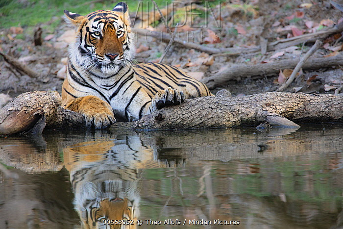 Bengal Tiger (Panthera tigris tigris) female at waterhole, Ranthambore National Park, India