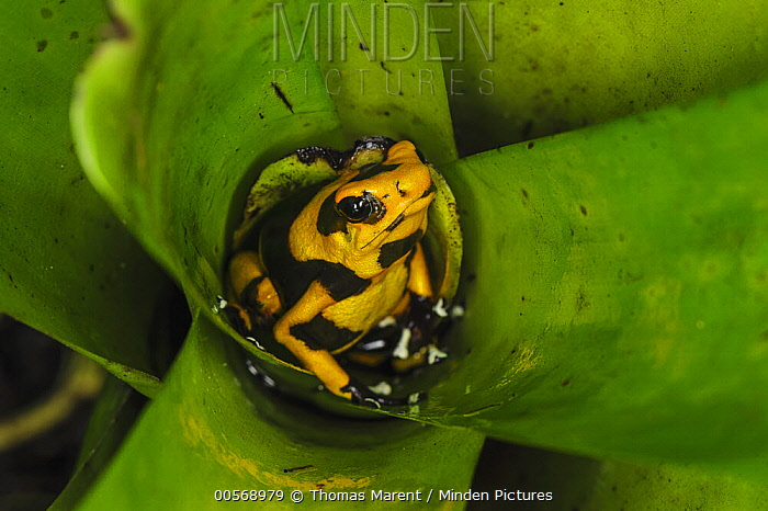 Red-banded Poison Frog (Dendrobates lehmanni) in bromeliad, Cauca, Colombia