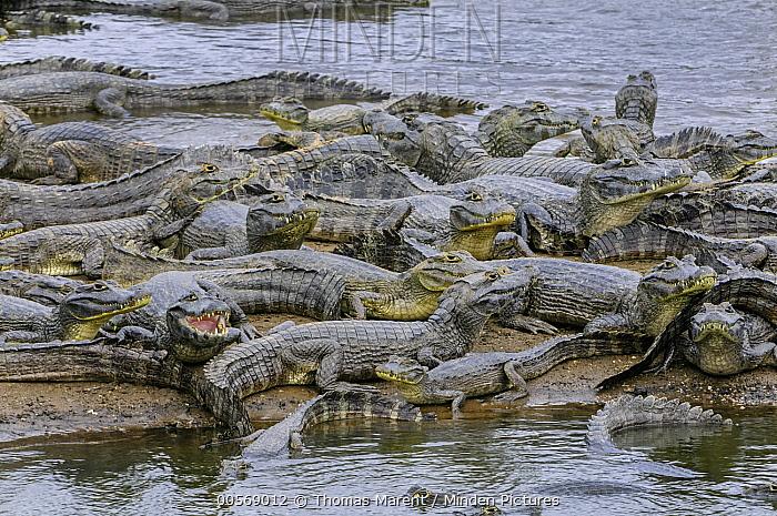 Jacare Caiman (Caiman yacare) group basking, Pantanal, Mato Grosso, Brazil