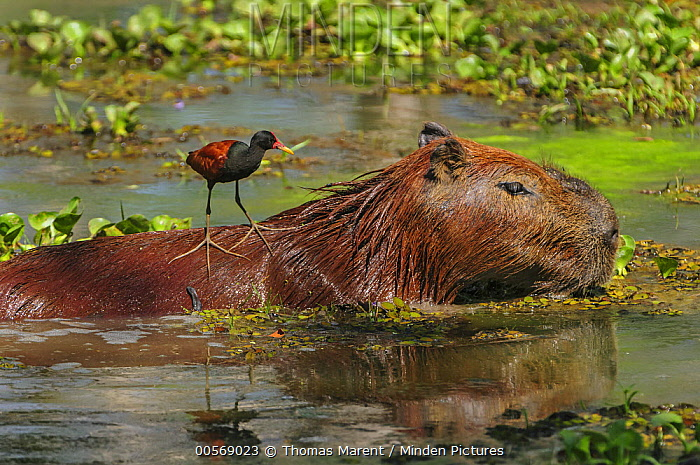 Capybara (Hydrochoerus hydrochaeris) with Wattled Jacana (Jacana jacana) on its back, Pantanal, Mato Grosso, Brazil