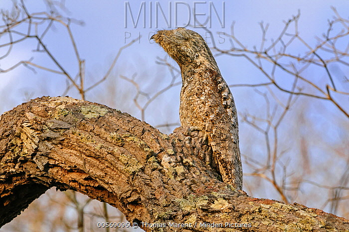 Great Potoo (Nyctibius grandis) camouflaged in tree, Pantanal, Mato Grosso, Brazil