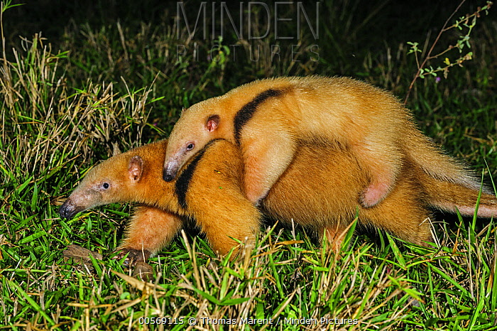 Southern Anteater (Tamandua tetradactyla) mother carrying young, Pantanal, Mato Grosso, Brazil