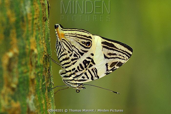 Zebra Mosaic Butterfly (Colobura dirce), Rio Claro Nature Reserve, Antioquia, Colombia