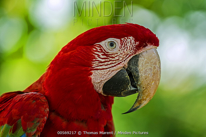 Red and Green Macaw (Ara chloroptera), Rio Claro Nature Reserve, Antioquia, Colombia