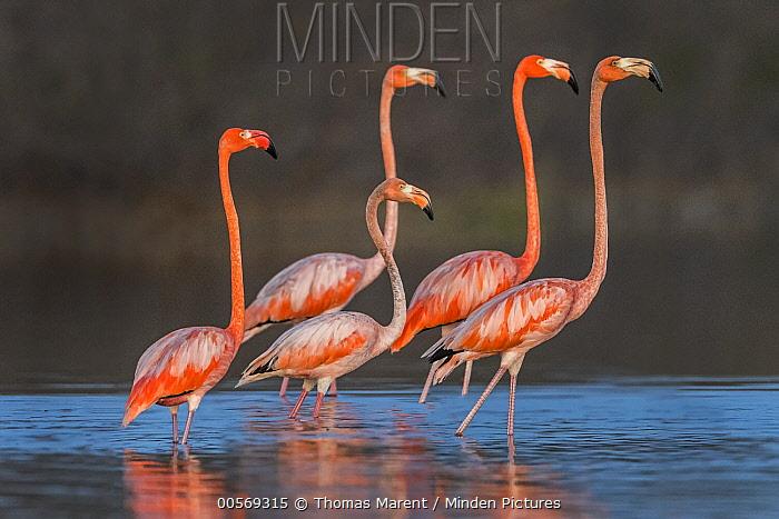 Greater Flamingo (Phoenicopterus ruber) group wading, Los Flamencos Sanctuary, Guajira Peninsula, Colombia