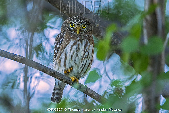 Ferruginous Pygmy Owl (Glaucidium brasilianum), Guajira Peninsula, Colombia