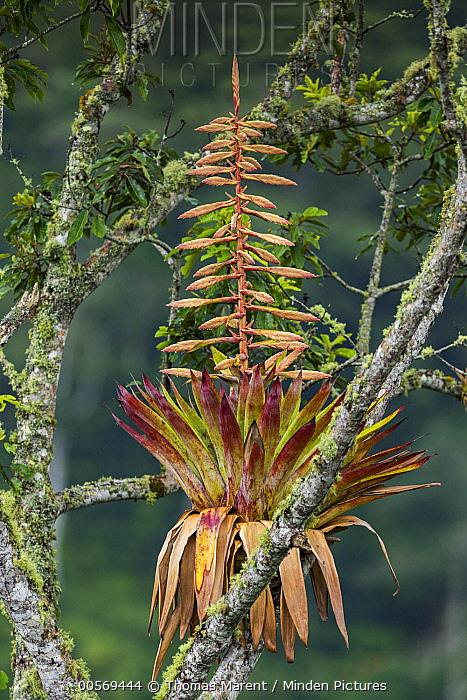 Bromeliad (Bromeliaceae) flowering on branch, Guacharo Cave National Park, Colombia