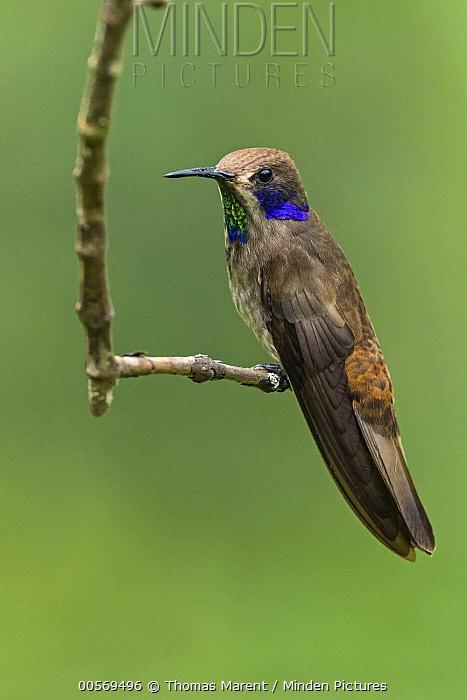 Brown Violet-ear (Colibri delphinae) hummingbird, Las Tangaras Bird Reserve, Colombia