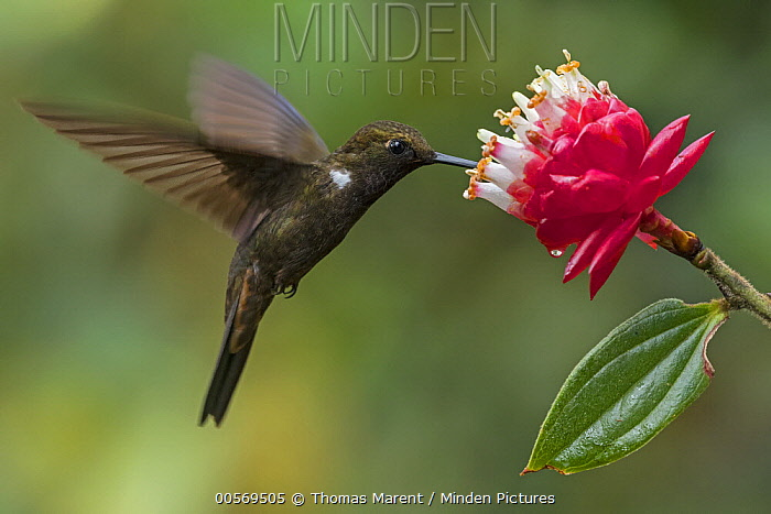 Brown Inca (Coeligena wilsoni) hummingbird feeding on flower nectar, Las Tangaras Bird Reserve, Colombia