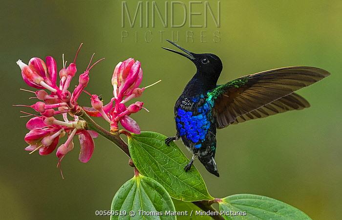 Velvet-purple Coronet (Boissonneaua jardini) hummingbird in defensive posture, Las Tangaras Bird Reserve, Colombia