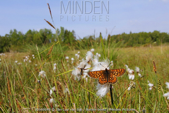 Marsh Fritillary (Euphydryas aurinia) butterfly male on Cottongrass (Eriophorum angustifolium) in field, Kalmar, Sweden