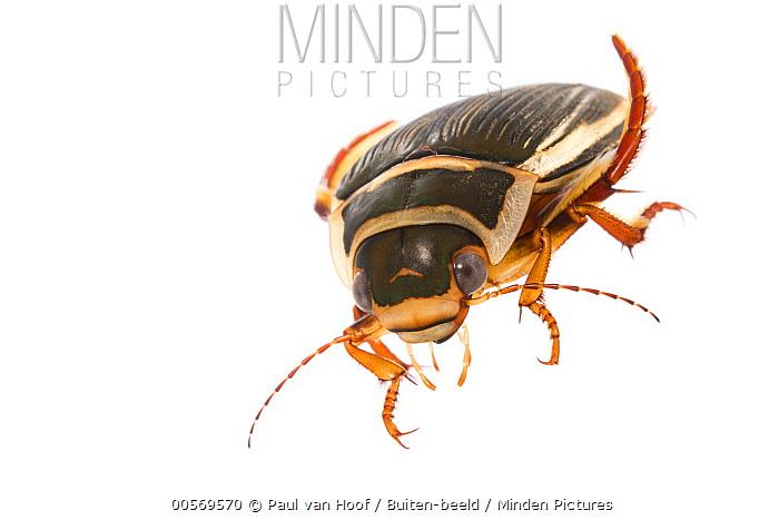 Diving Beetle (Dytiscus latissimus) female, Latvia