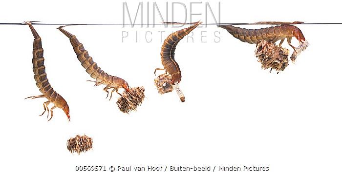 Diving Beetle (Dytiscus latissimus) larva feeding on caddis fly larva, Latvia