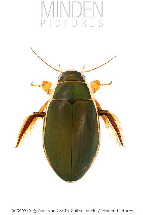 Diving Beetle (Dytiscus dimidiatus) male, Herkenbosch, Netherlands