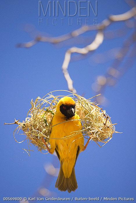 Masked-Weaver (Ploceus velatus) building nest, Sesriem Valley, Sossusvlei, Namibia