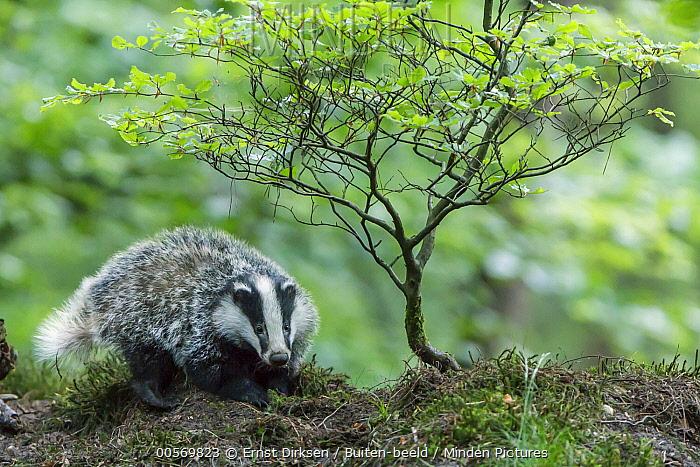 Eurasian Badger (Meles meles) kit, Speuld, Netherlands