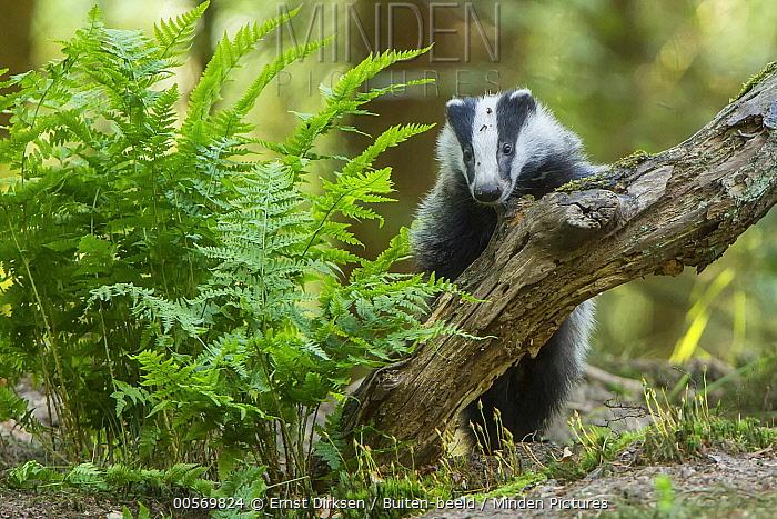 Eurasian Badger (Meles meles), Speuld, Netherlands