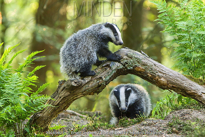Eurasian Badger (Meles meles) kits playing, speuld, Netherlands