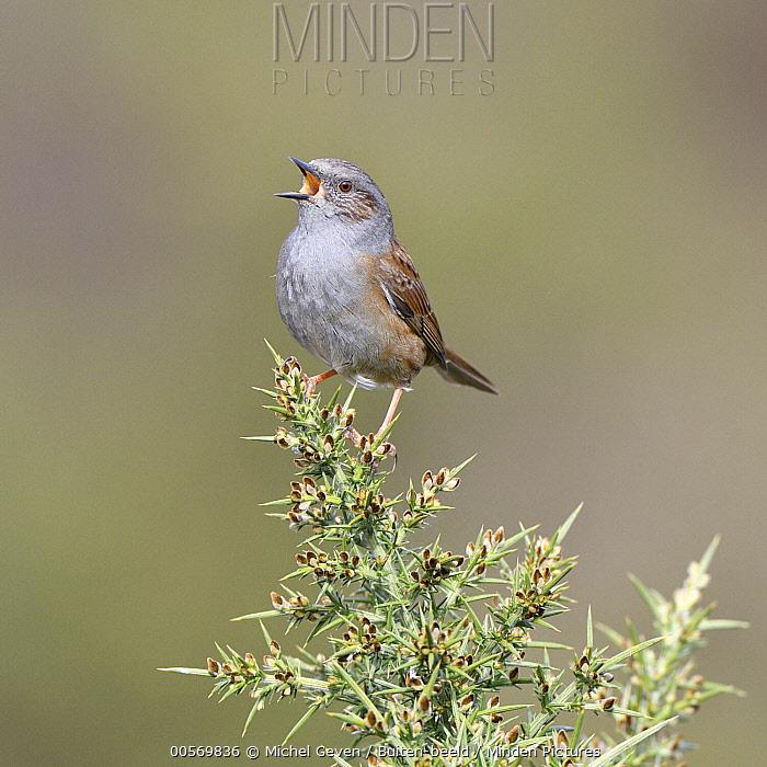 Dunnock (Prunella modularis) calling in Gorse (Ulex europaeus), Rheden, Netherlands