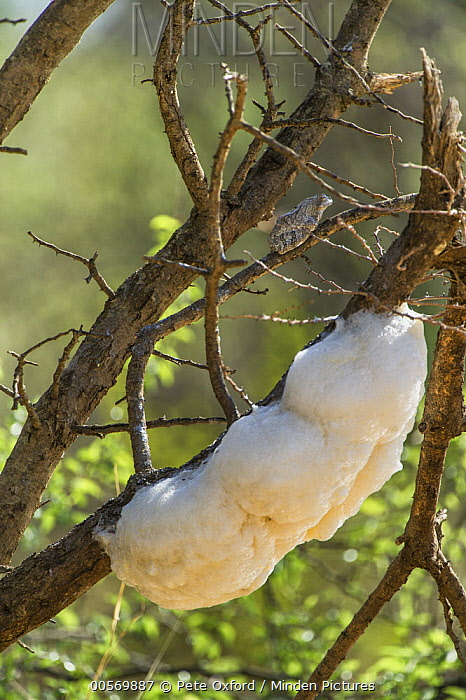 Grey Tree Frog (Chiromantis xerampelina) with foam nest, Marakele National Park, Limpopo, South Africa
