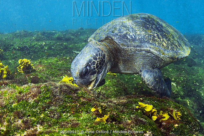Pacific Green Sea Turtle (Chelonia mydas agassizi) grazing on algae, Puerto Egas, Santiago Island, Galapagos Islands, Ecuador