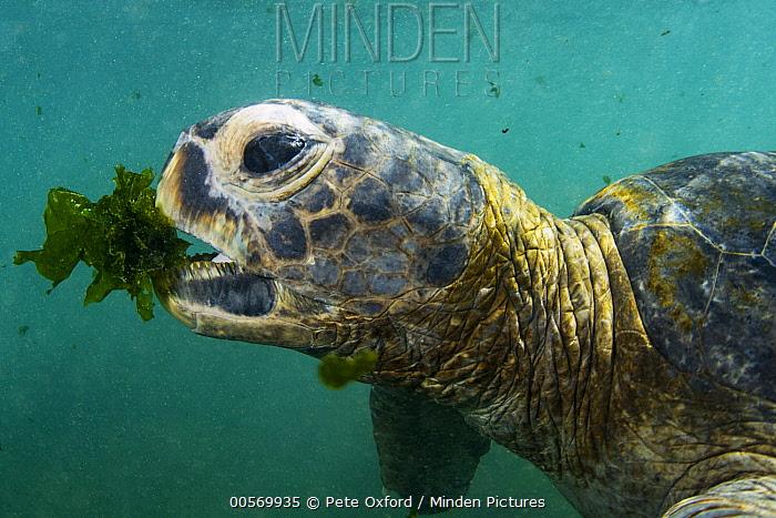 Pacific Green Sea Turtle (Chelonia mydas agassizi) feeding on algae, Urbina Bay, Isabela Island, Galapagos Islands, Ecuador