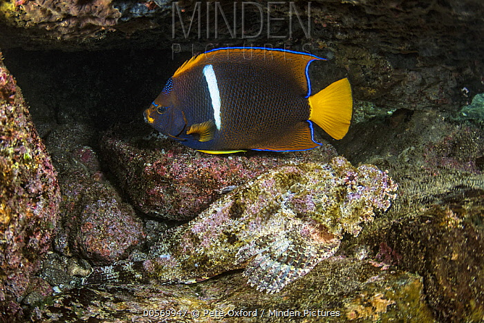 Spotted Scorpionfish (Scorpaena plumieri) camouflaged in rocks near King Angelfish (Holacanthus passer), Tower Island, Galapagos Islands, Ecuador