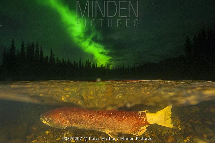 Chinook Salmon (Oncorhynchus tshawytscha) female spawning under northern lights in small tributary of Yukon River, Yukon, Canada