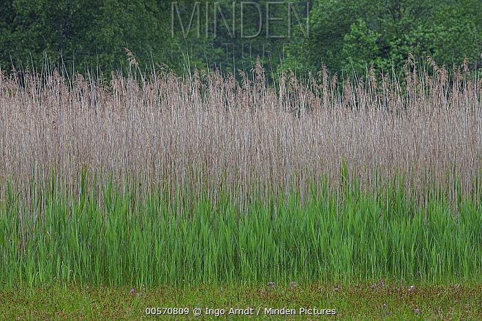 Common Reed (Phragmites australis) grasses in spring, Germany