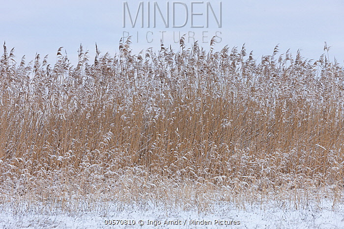 Common Reed (Phragmites australis) grasses in winter, Germany