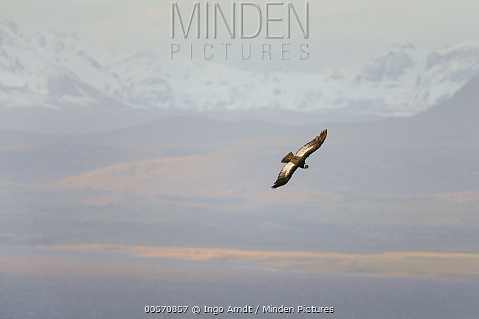 Andean Condor (Vultur gryphus) male flying, Patagonia, Chile