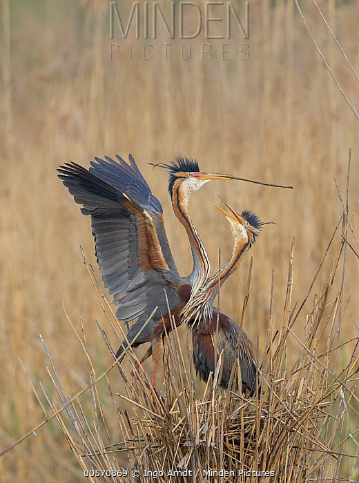 Purple Heron (Ardea purpurea) pair courting and building nest in reeds, Germany