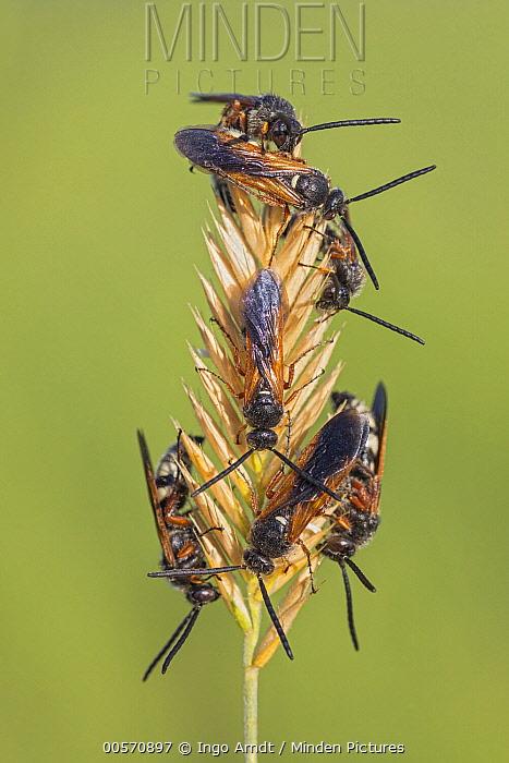 Sawflies on dry grass, eastern Mongolia