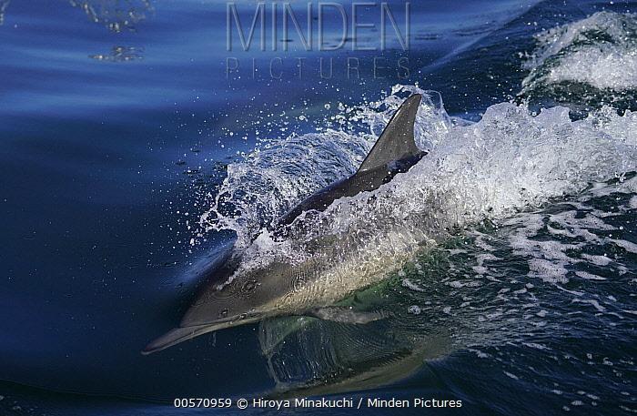 Long-beaked Common Dolphin (Delphinus capensis) porpoising, Monterey Bay, California