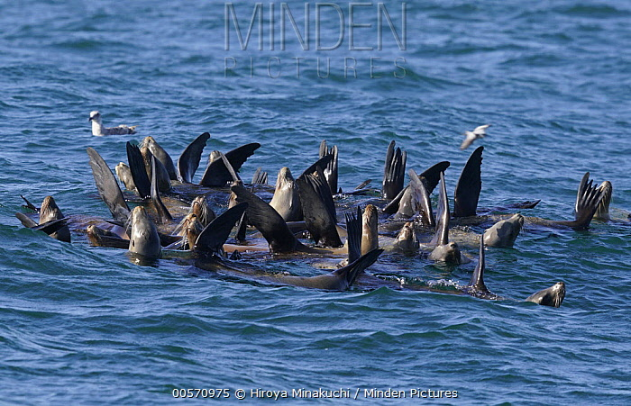 California Sea Lion (Zalophus californianus) group thermoregulating by lifting flippers out of water, Monterey Bay, California