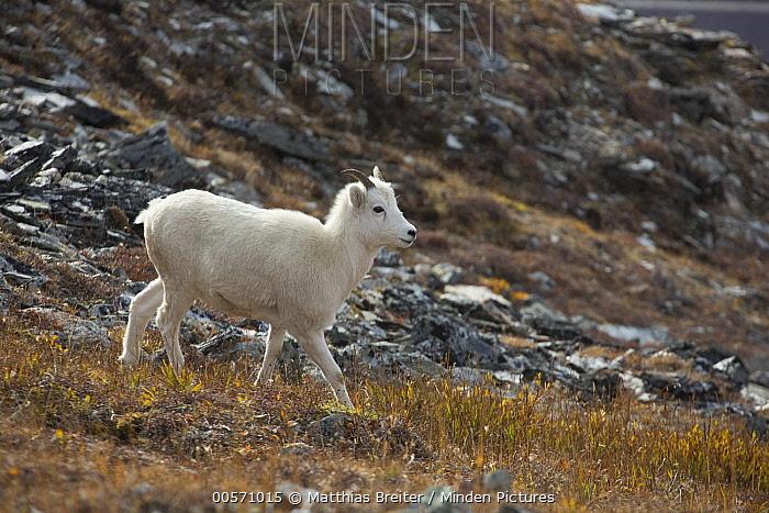 Dall's Sheep (Ovis dalli) ewe, Denali National Park, Alaska