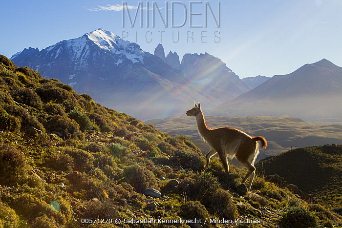 Guanaco (Lama guanicoe) in pre-andean shrubland, Torres del Paine, Torres del Paine National Park, Patagonia, Chile