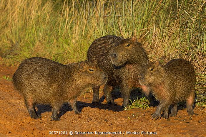 Capybara (Hydrochoerus hydrochaeris) father with juveniles, Ibera Provincial Reserve, Ibera Wetlands, Argentina