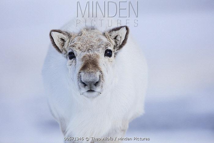 Svalbard Reindeer (Rangifer tarandus platyrhynchus), Svalbard, Norway