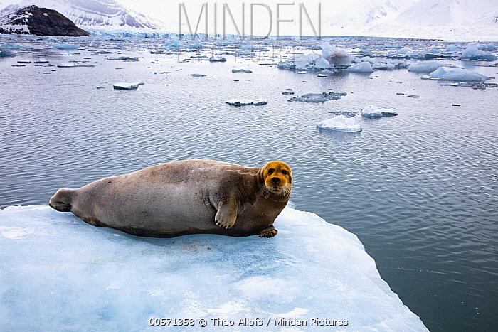 Bearded Seal (Erignathus barbatus) on ice floe with red face from bottom feeding on iron-rich sea floor,  Svalbard, Norway