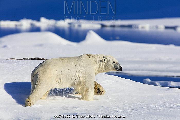 Polar Bear (Ursus maritimus) on shore, Svalbard, Norway