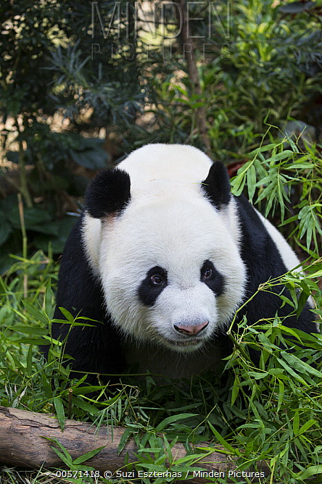 Giant Panda (Ailuropoda melanoleuca), native to China