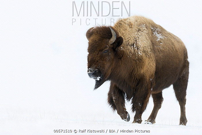 American Bison (Bison bison) in snow, Yellowstone National Park, Wyoming